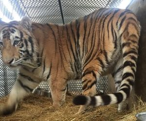 Tiger Who Greeted Intruder in Houston House Is On His Way To New Home