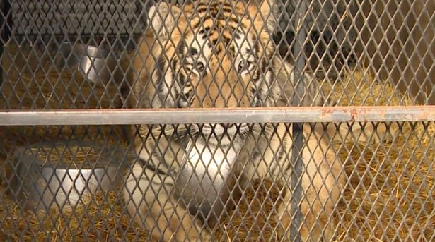 Bill Protecting Big Cats Reintroduced To House Of Representatives
